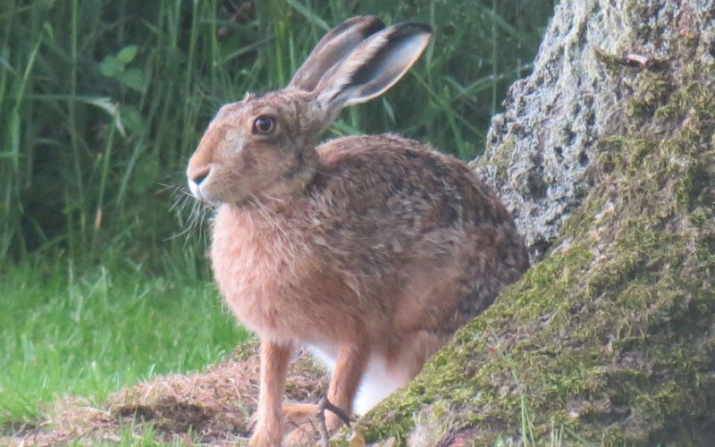 01 hare in orchard